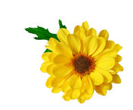 Pompon Daisy Stock Images