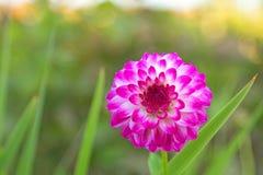 Pompon dalia kwitnie w białym kolorze zaznaczającym z czerwonawymi purpurami Zdjęcie Royalty Free