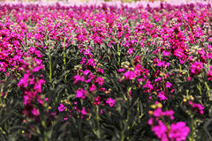Spring season. A beautiful pink pompon field Stock Images