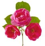 Pomponella Rose Stock Photos