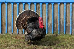 The pompous turkey-cock. Straightened tail feathers stock photography