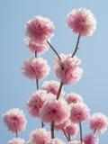 Pomppom flowers on branch Stock Images
