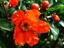 Pomrgranate-Blumen Blumen Lizenzfreies Stockfoto