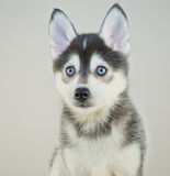 Pomsky Puppy stock images