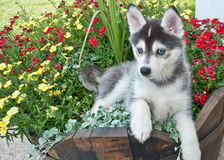 Pomsky Puppy stock photos