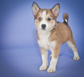 Pomsky Puppy stock photography