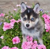 Pomsky Puppy Stock Image