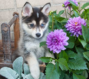 Pomsky Puppy stock photo