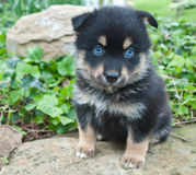 Pomsky Puppy royalty free stock photo