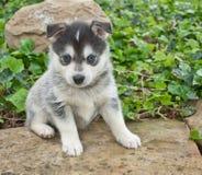 Pomsky Puppy royalty free stock photos