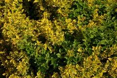 Pomyślności euonymus jest wspaniałym krzakiem z gęsto rosnąć ciemnozielonych i bladożółtych liście fotografia stock