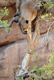 Pomyślny chwyt! Kuguar, Halny lew Z myszą w usta/ Obrazy Royalty Free