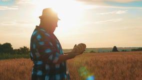 Pomyślny rolnik w polu banatka Dorosły mężczyzna demonstruje produkt robić banatka, chleb Pojęcia żniwa czas zbiory wideo