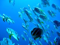 ponad batfish Zdjęcia Royalty Free