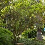 Poncirus trifoliata -枳,飞行龙,植物 免版税库存图片