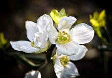 Poncirus Trifoliata Stock Image
