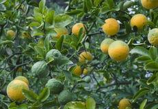 Poncirus Trifoliata Fruit Tree Stock Photos