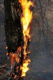 płonący suchy drzewo Zdjęcia Royalty Free