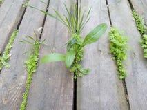 Poncz zieleni krótkopędy trawa przez podłoga stara drewniana deska Zdjęcia Stock