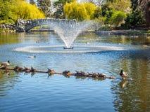 Pond утки turtlesand грея на солнце на имени пользователя озеро Стоковые Изображения