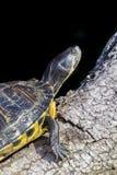 Pond черепахи слайдера на ветви, черной предпосылке Стоковые Фотографии RF