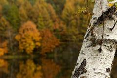 Pond для того чтобы увидеть белую березу сверх Стоковые Изображения RF
