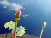 Pond. Flowering of a lotus on a pond Stock Photos