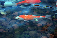The pond. Many fish in the pond Royalty Free Stock Photo