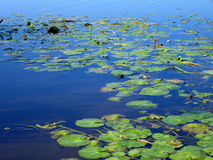 Pond 2. Landscape photo of pond lillies royalty free stock image