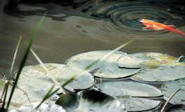 Pond. Goldfish in a pond stock image