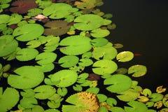 Pond. Lotus leaves on the pond Stock Image