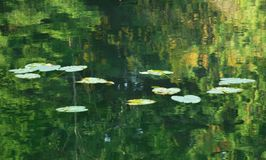 On the pond. Lilly pads on a pond Stock Photography