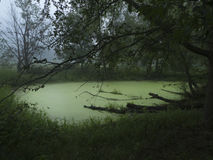 Pond with algae or scum in summer. Atmospheric image of a pond in a woodsy area or forest with green grass, leaves, rotting logs and very green slime on the Royalty Free Stock Image