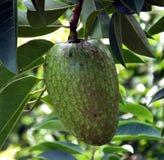Pond Apple (Annona glabra) Stock Photo