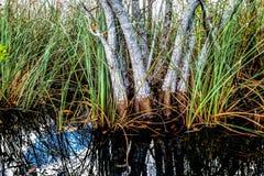 Pond Apple Stock Photo