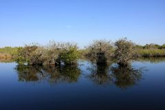 Pond Apple Trees in still water, Everglades National Park. Pond Apple Trees in still water on the Anhinga Trail in Everglades National Park, Florida stock photography