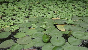 Pond aquatic plant plant background Royalty Free Stock Photos
