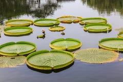 The pond  aquatic plants Stock Photo