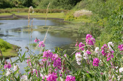 Pond backed pink wildflower blossoms. Vivid pink and white wildflowers are backed by a quiet blue pond dotted with lily pads in the background. Lush, green Royalty Free Stock Photography