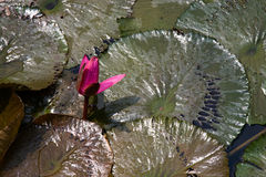 Pond beauty. A bright pink water lily stands out amongst the lily pads stock photos