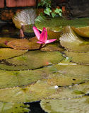Pond beauty. A bright pink water lily stands out amongst the lily pads royalty free stock photography