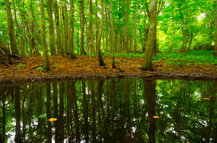 Pond in beech forest, Japan. Stock Images