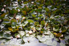 Pond with blooming lotuses Stock Photos