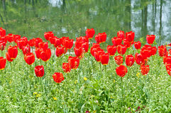 Pond beside blooming tulips Royalty Free Stock Photography