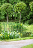Pond with bog yellow irises. In the Park among the lime trees and spruces royalty free stock photos
