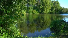 Pond in the forest. Pond in the calm summer forest at sunset stock video footage