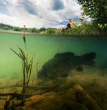 Pond with carp. Split shot of the freshwater pond with fisherman above the surface and big fish (Carp of the family of Cyprinidae) grazing underwater over the Stock Photo