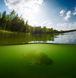 Pond with carp. Split shot of the freshwater pond with forest above the surface and fish (Carp of the family of Cyprinidae) underwater Stock Photo