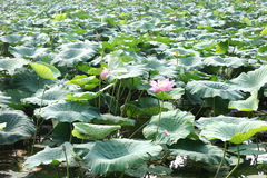 Pond of Chinese lotus flowers Royalty Free Stock Images