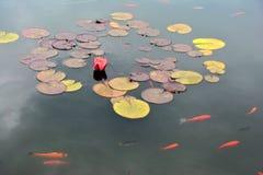 Pond com o lírio de água vermelha e os peixes do koi Imagens de Stock Royalty Free